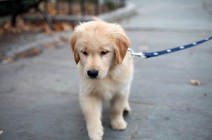 This puppy is almost as cute as the one I saw in Orinda. (credit: ccho on Flickr)